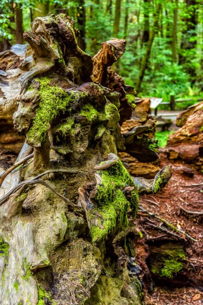 36 Armstrong Redwoods State Natural Reserve 2014_04-Edit.jpg