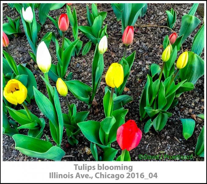 001_TulipsChicago2016_04.jpg